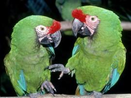 Papel de parede Dupla de Papagaios