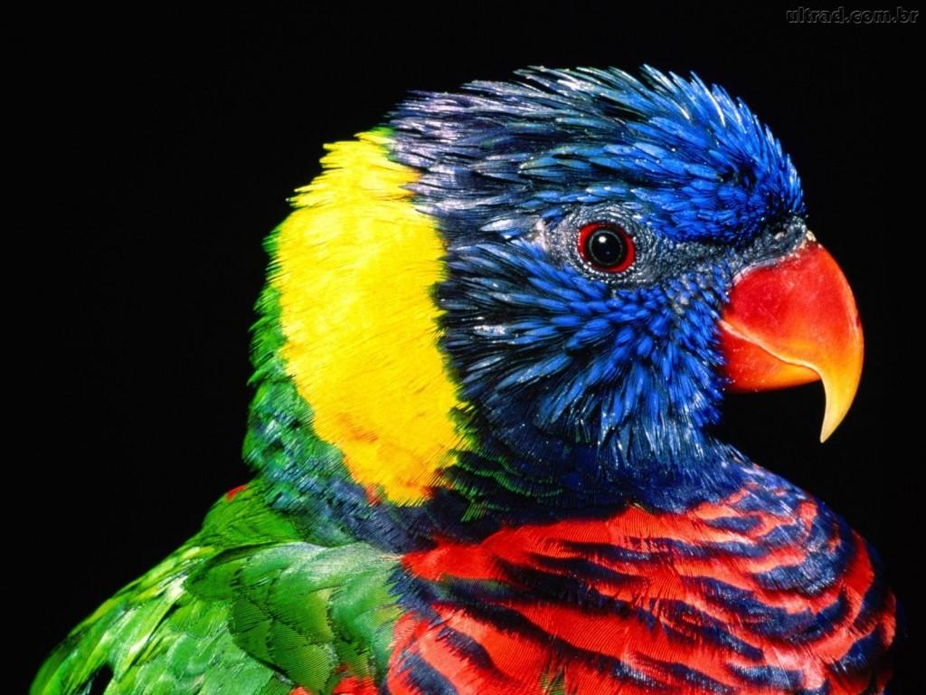 Papel de parede Papagaio Colorido para download gratuito. Use no computador pc, mac, macbook, celular, smartphone, iPhone, onde quiser!
