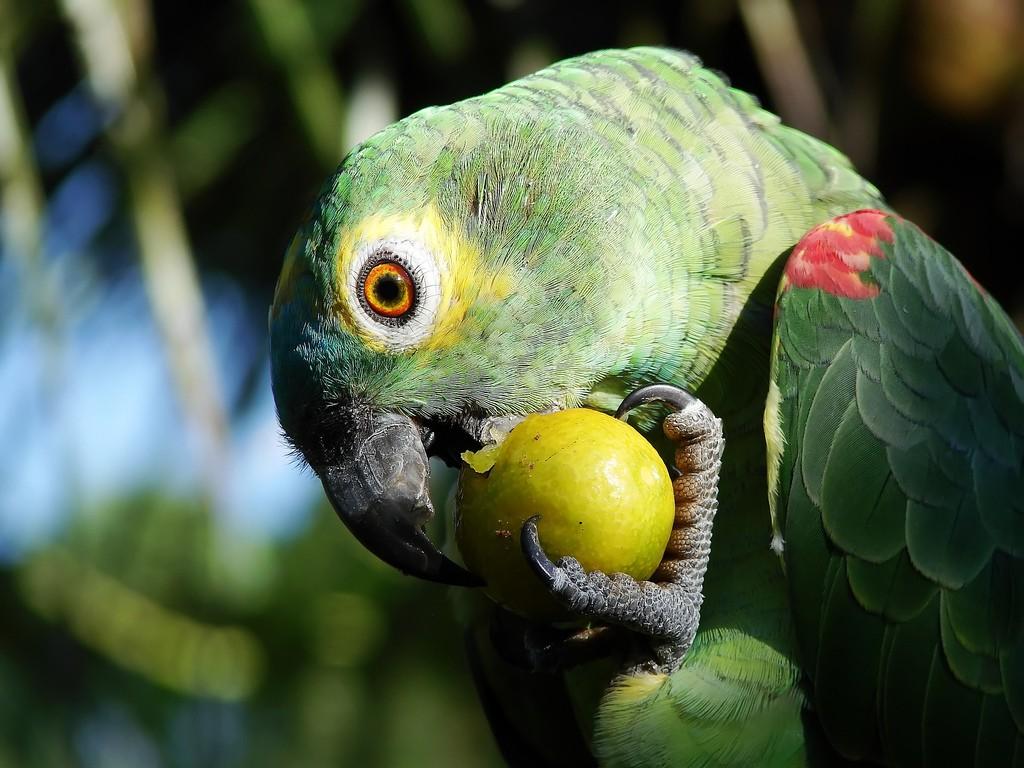 Papel de parede Papagaio Comendo Fruta para download gratuito. Use no computador pc, mac, macbook, celular, smartphone, iPhone, onde quiser!