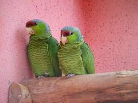 Papel de parede Casal de Papagaios