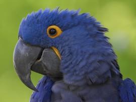 Papel de parede Papagaio Azul