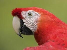 Papel de parede Papagaio Vermelho