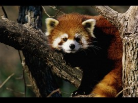 Papel de parede Panda Vermelho na Árvore