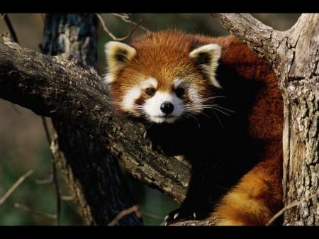 Papel de parede Panda Vermelho na Árvore para download gratuito. Use no computador pc, mac, macbook, celular, smartphone, iPhone, onde quiser!