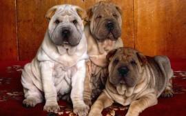 Papel de parede Cães da Raça Shar-Pei