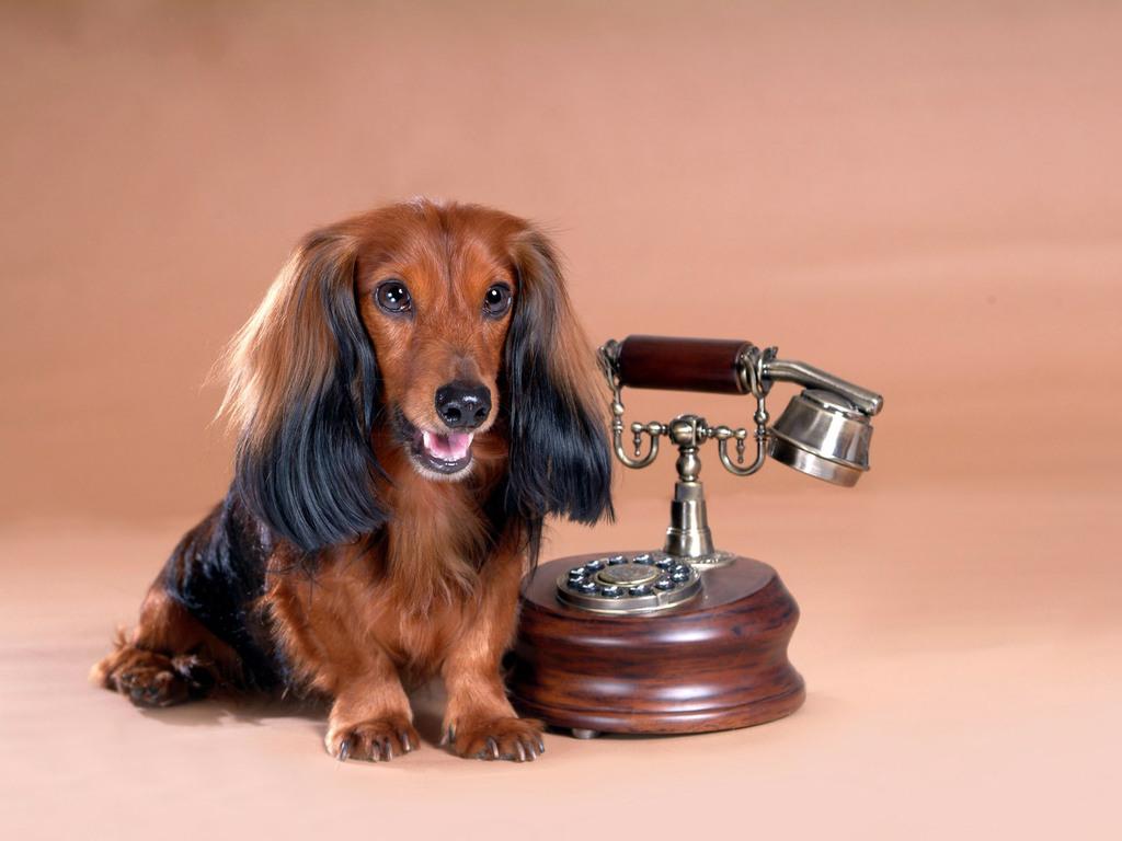 Papel de parede Telefone e o Cachorro para download gratuito. Use no computador pc, mac, macbook, celular, smartphone, iPhone, onde quiser!