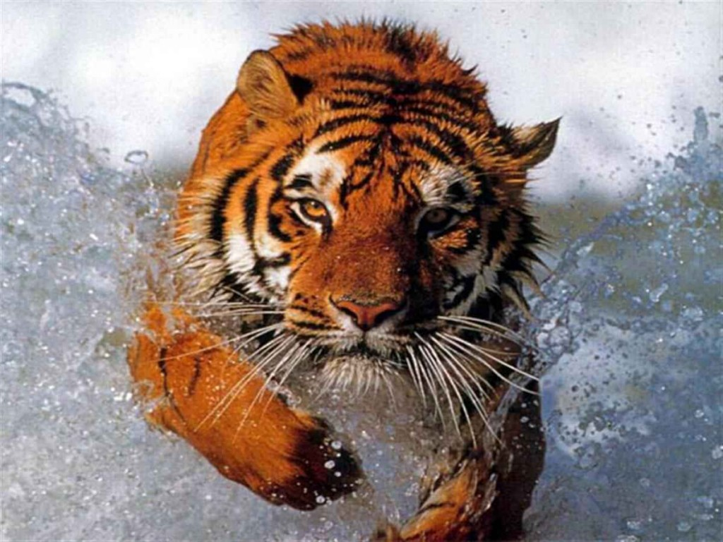 Papel de parede Tigre Correndo na Água para download gratuito. Use no computador pc, mac, macbook, celular, smartphone, iPhone, onde quiser!
