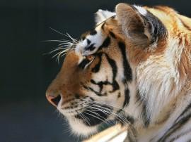 Papel de parede Tigre de Perfil