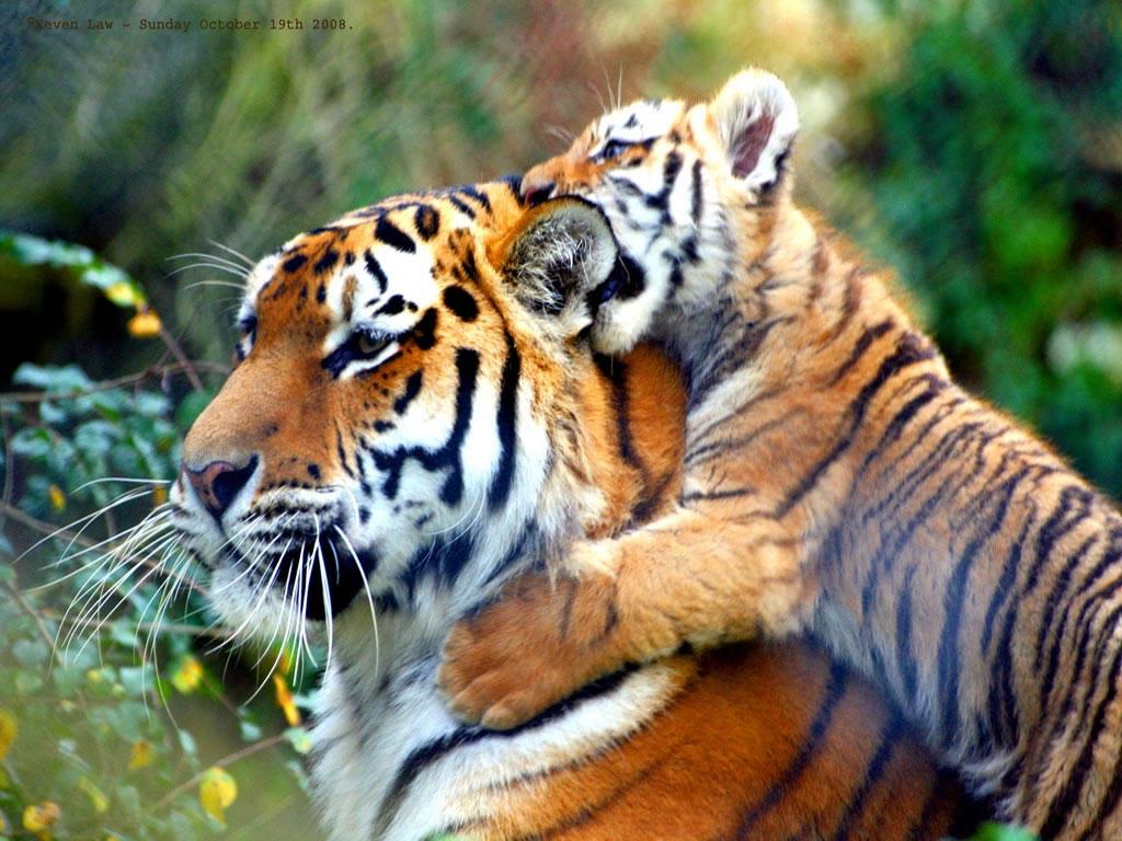 Papel de parede Tigre e Seu Filhote para download gratuito. Use no computador pc, mac, macbook, celular, smartphone, iPhone, onde quiser!