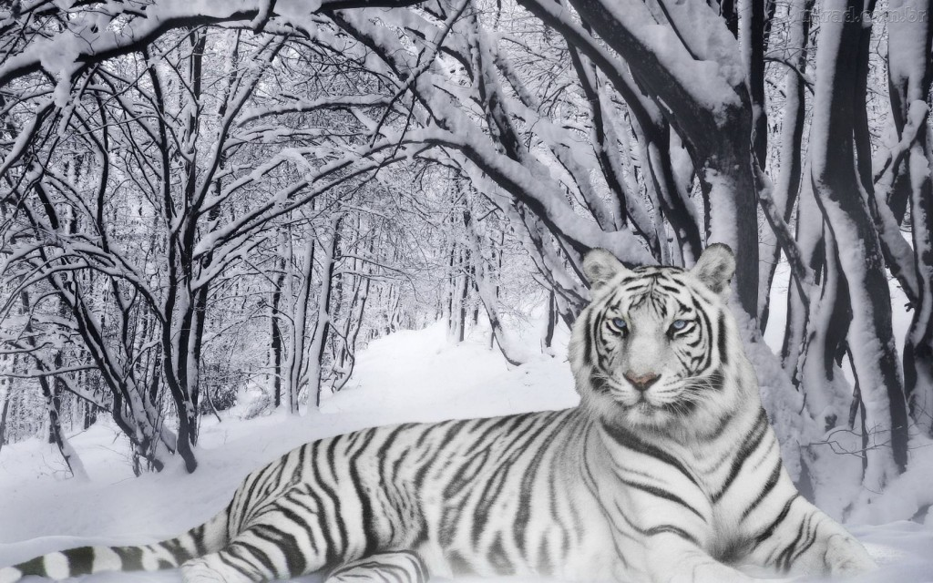 Papel de parede Tigre Albino na Floresta com Neve para download gratuito. Use no computador pc, mac, macbook, celular, smartphone, iPhone, onde quiser!