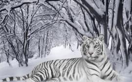 Papel de parede Tigre Albino na Floresta com Neve