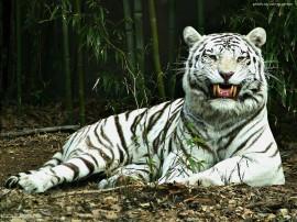 Papel de parede Tigre Albino na Floresta