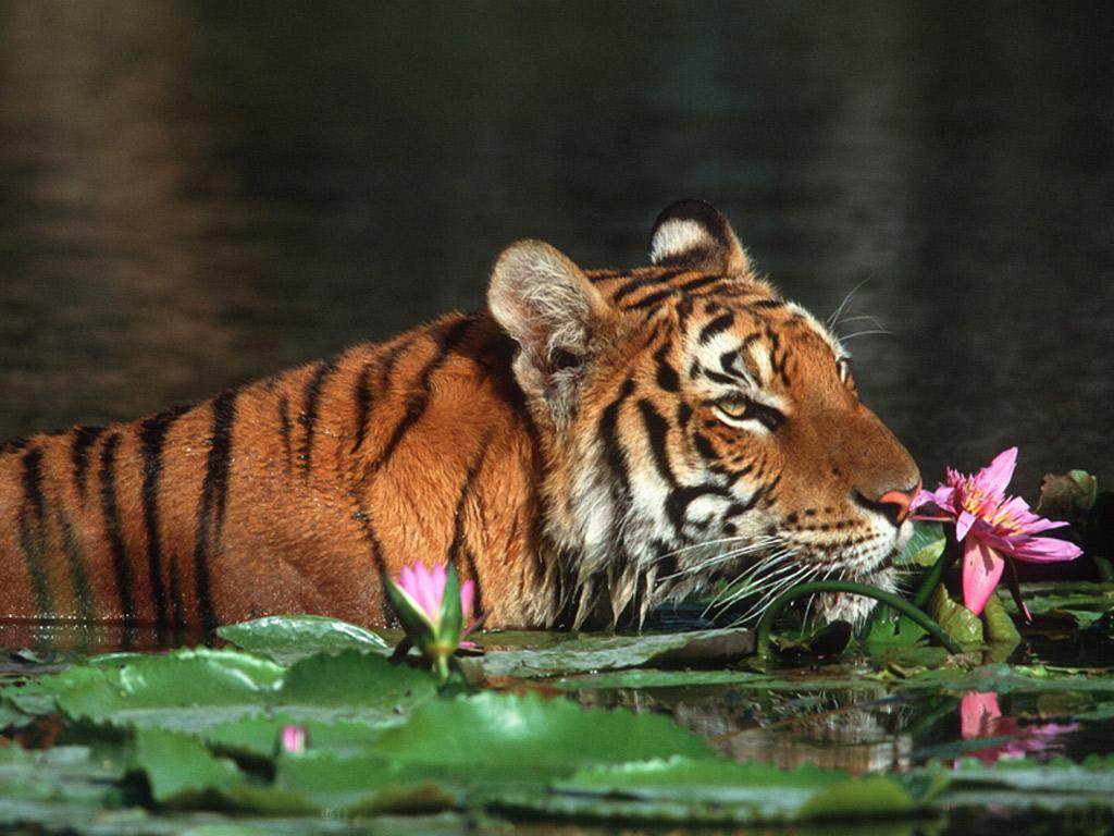 Papel de parede O Tigre e a Flor de Lótus para download gratuito. Use no computador pc, mac, macbook, celular, smartphone, iPhone, onde quiser!