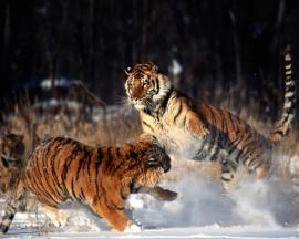 Papel de parede Tigres Brigando na Neve