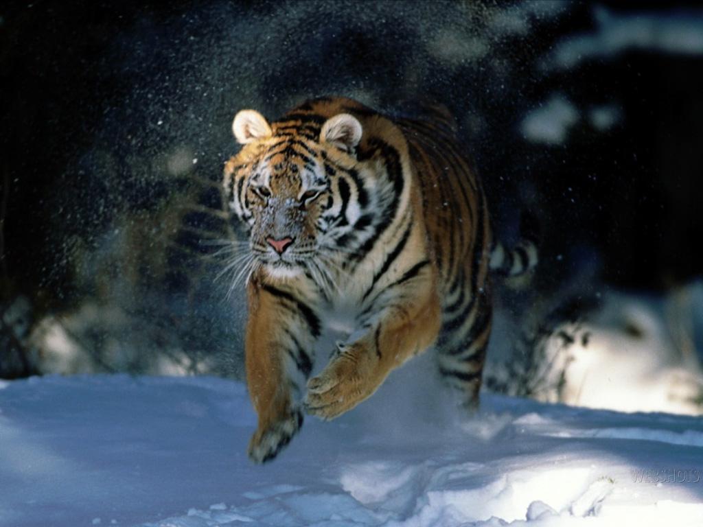Papel de parede Tigre Correndo na Neve para download gratuito. Use no computador pc, mac, macbook, celular, smartphone, iPhone, onde quiser!
