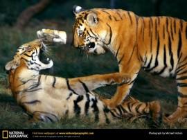 Papel de parede Tigres Lutando