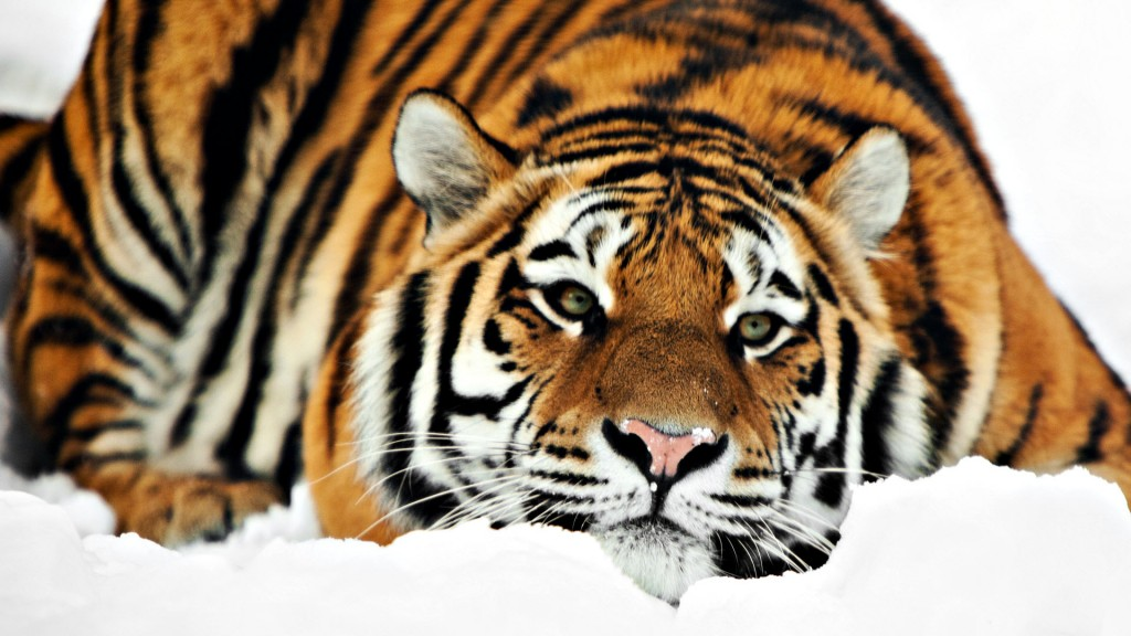 Papel de parede Tigre Deitado na Neve para download gratuito. Use no computador pc, mac, macbook, celular, smartphone, iPhone, onde quiser!