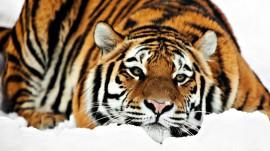 Papel de parede Tigre Deitado na Neve