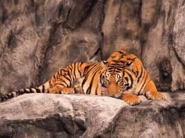 Papel de parede Tigre Dormindo Com Olhos Abertos