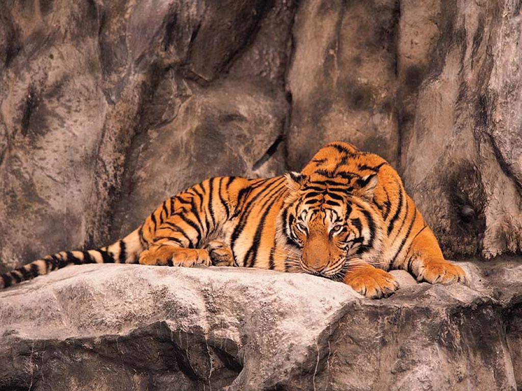 Papel de parede Tigre Dormindo Com Olhos Abertos para download gratuito. Use no computador pc, mac, macbook, celular, smartphone, iPhone, onde quiser!