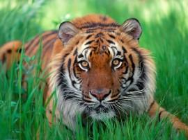 Papel de parede Tigre Sentado na Relva