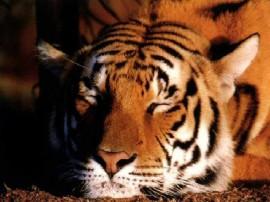Papel de parede Tigre Dormindo