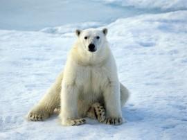 Papel de parede Urso Branco na Neve