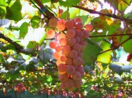 Papel de parede Cacho de Uva no Sol