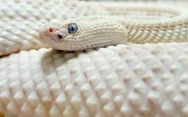 Papel de parede Cobra Branca