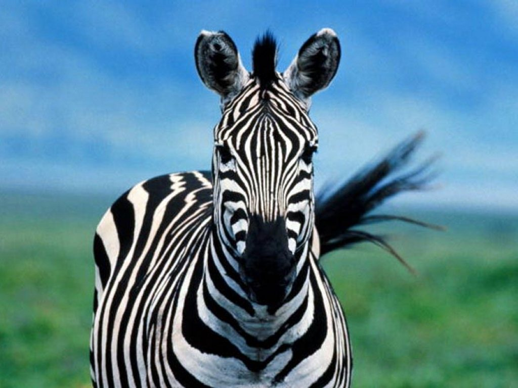 Papel de parede Bela Zebra para download gratuito. Use no computador pc, mac, macbook, celular, smartphone, iPhone, onde quiser!