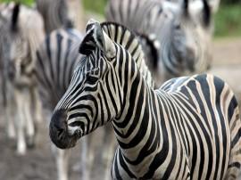 Papel de parede Zebra Jovem