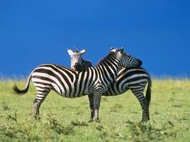 Papel de parede Abraço de Zebras