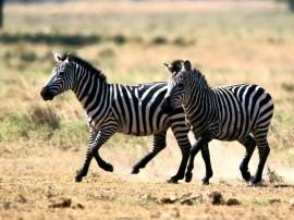 Papel de parede Zebras Correndo