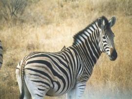 Papel de parede Zebra Bela