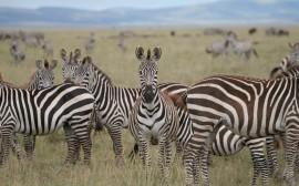 Papel de parede Zebras no Campo
