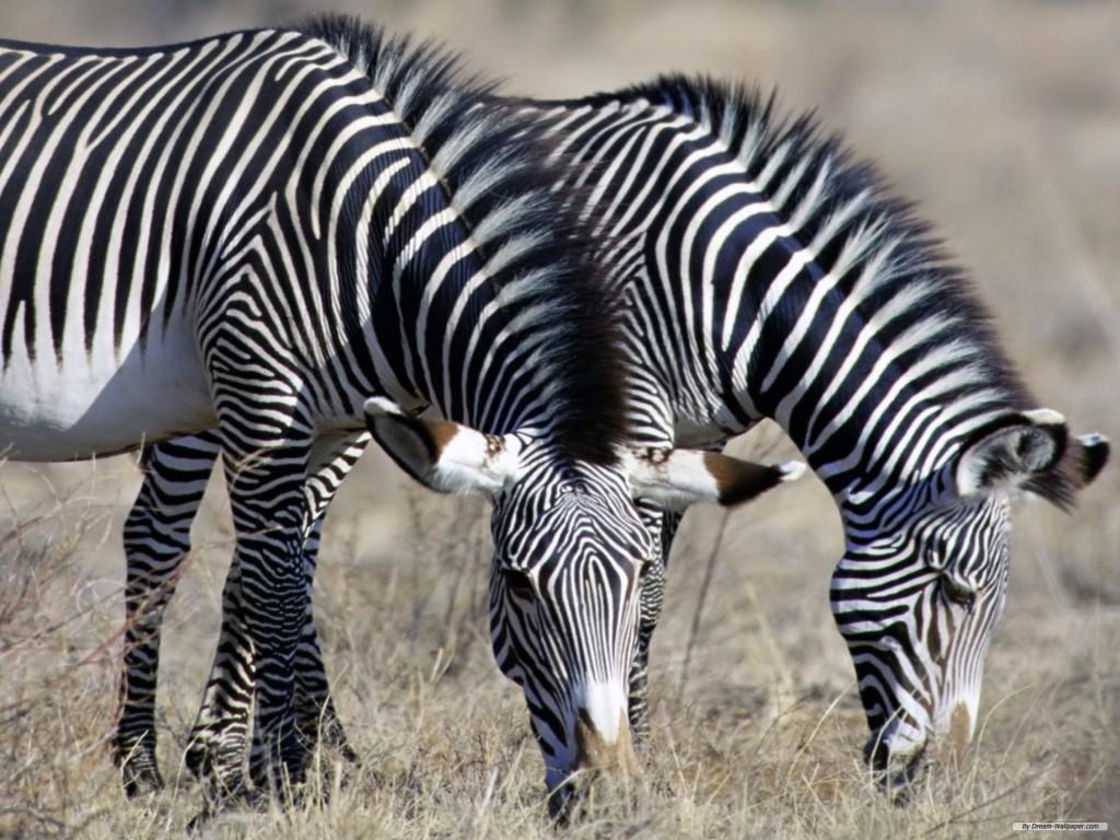 Papel de parede Zebras Pastando para download gratuito. Use no computador pc, mac, macbook, celular, smartphone, iPhone, onde quiser!