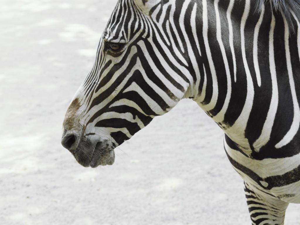 Papel de parede Cara de Zebra para download gratuito. Use no computador pc, mac, macbook, celular, smartphone, iPhone, onde quiser!