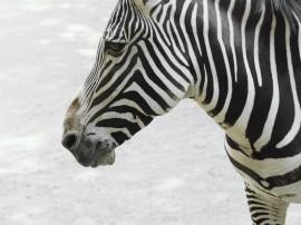 Papel de parede Cara de Zebra