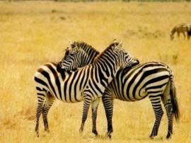 Papel de parede Amor de Zebra