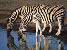 Papel de parede Zebras Bebendo Água