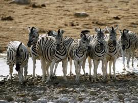 Papel de parede Zebra 20
