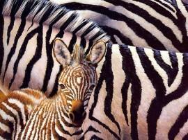 Papel de parede Zebra e Seu Filhote