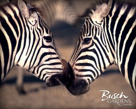 Papel de parede Beijo de Zebra