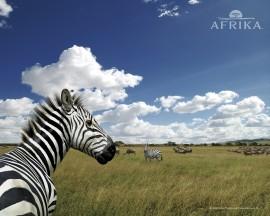 Papel de parede Zebra da África