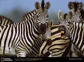 Papel de parede Zebra Sorrindo