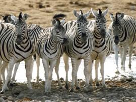Papel de parede Zebras Enfileiradas