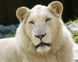 Papel de parede Leão Albino