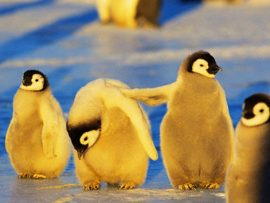 Papel de parede Amigo Pinguin