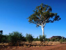 Papel de parede Austrália – Ghost Gum Tree