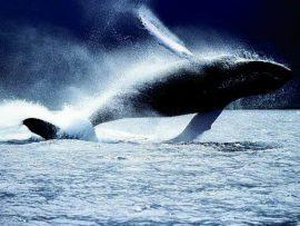 Papel de parede Baleia – Espetacular